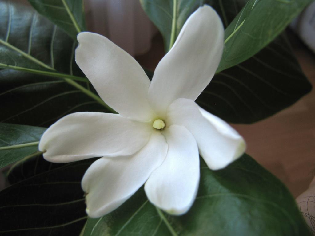 gardenia tahitensis - Page 10 184701IMG1017