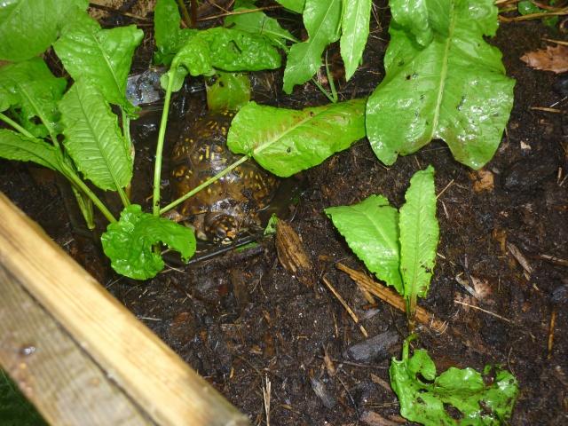 Un après midi sous la pluie.... 185981Terrapenetriunguis012