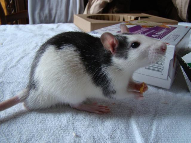 Entrée dans le monde des rats avec ces deux ptits ratous ! (NEWS 24/02 188099DSC00332