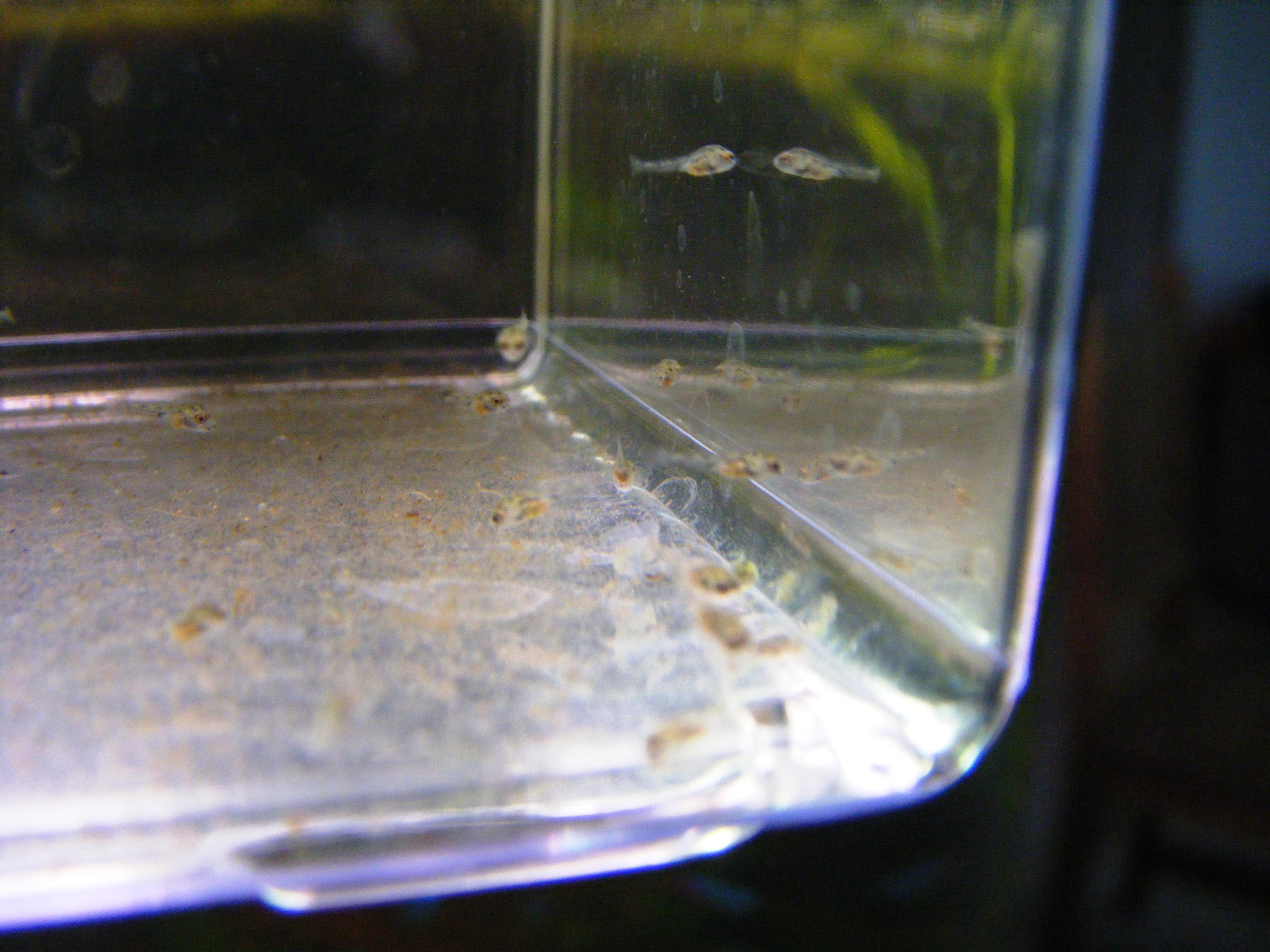 reproduction microgéophagus altispinosa 193706DSCF2892