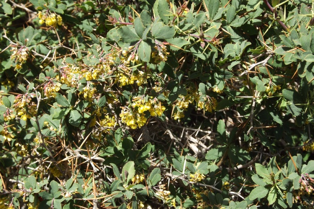 Italie - flore de Sicile 197287planteEtnajauneepines