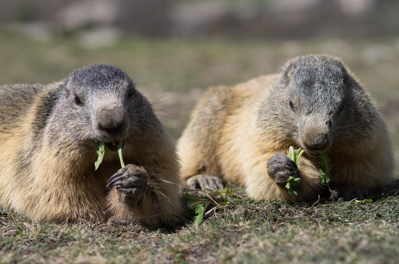 Journée de la marmotte 198821IMGP8210
