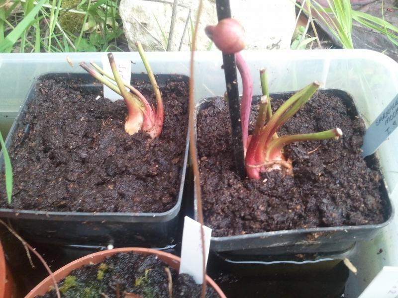 Sarracenia x moorei, Ian Salter clone 1, MK-H135 20154820130429191925