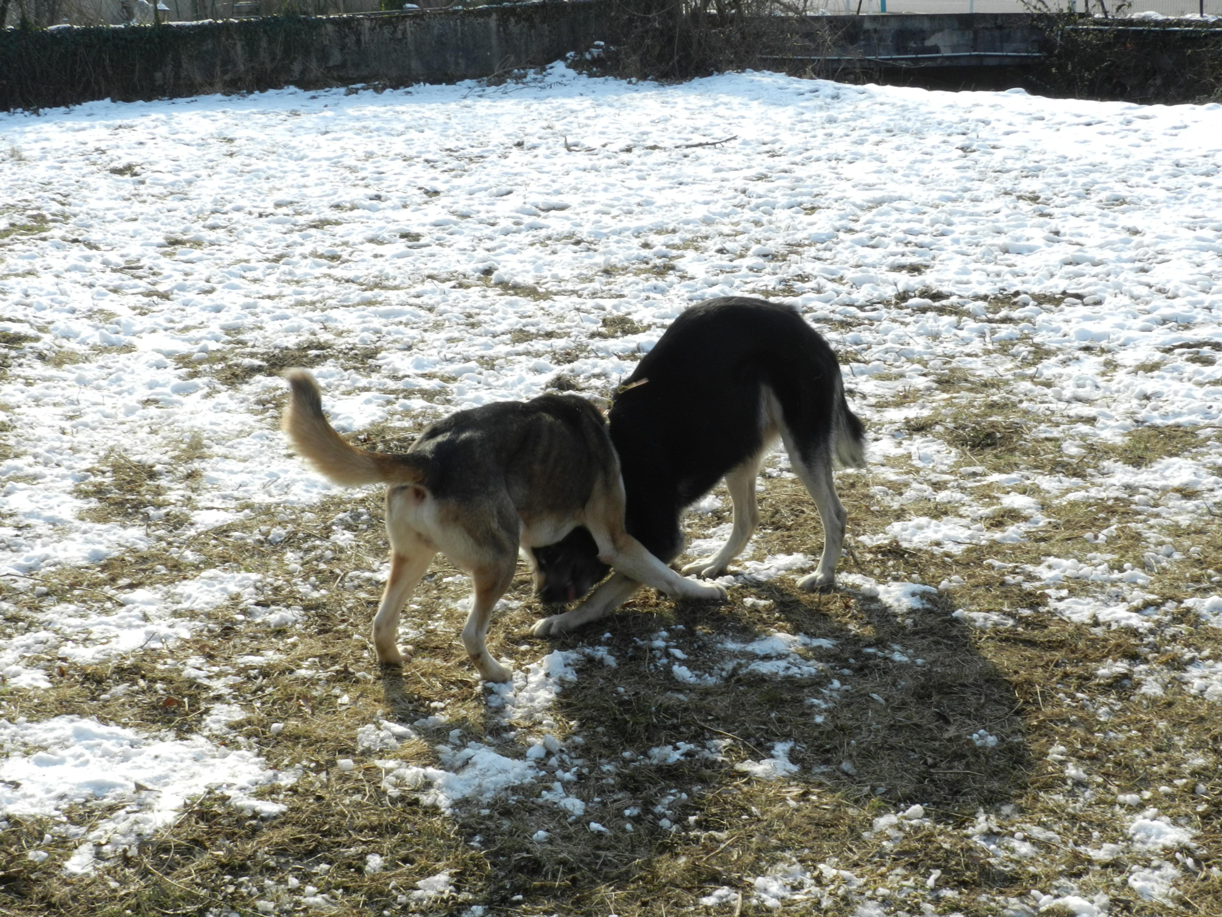 Link Berger X Husky mâle 5 ans gris et blanc PAR:38 ADOPTE 202841DSCN2050