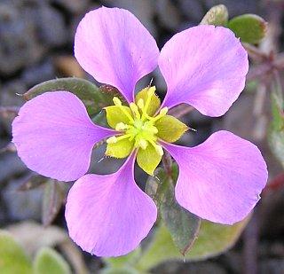Les fleurs (ou plantes ) contre le cancer. 203801fagoniacretica2
