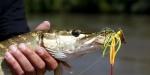 Pêche aux carnassiers (salmonidés compris)