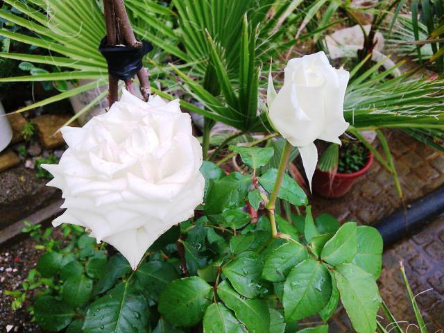 Floraisons de novembre 20889116.rose