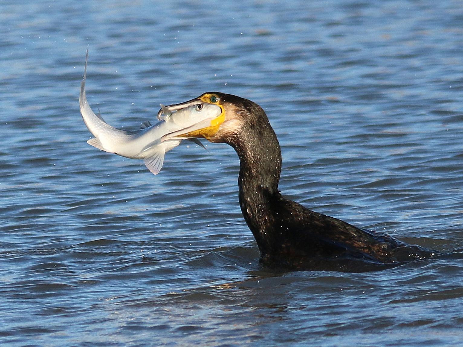 Festin du cormoran 208908IMG4149001