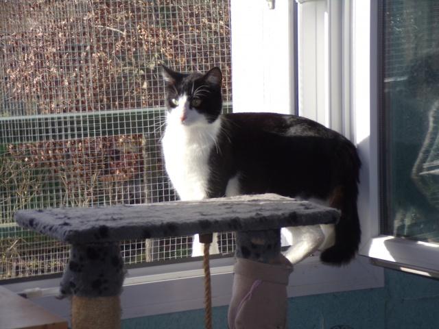 KIT-KAT chat noir et blanc 1 an FIV+ (ADPK 35) 2113391030553