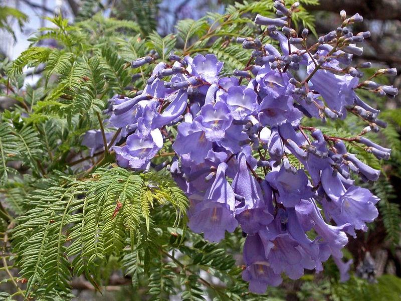 Jacaranda mimosifolia , le Flamboyant bleu 216548FleurdeJacaranda