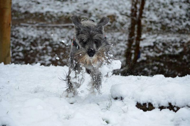 Nouveau CONCOURS PHOTOS: Un Schnauzer en hiver 2166761597767111767307290477418477825928688874969n