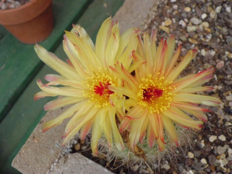 cactus de pô - Page 2 221278CIMG4240