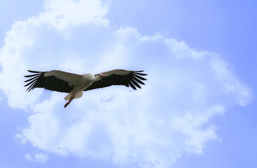 Mes oiseaux 222689Cigognereprise2