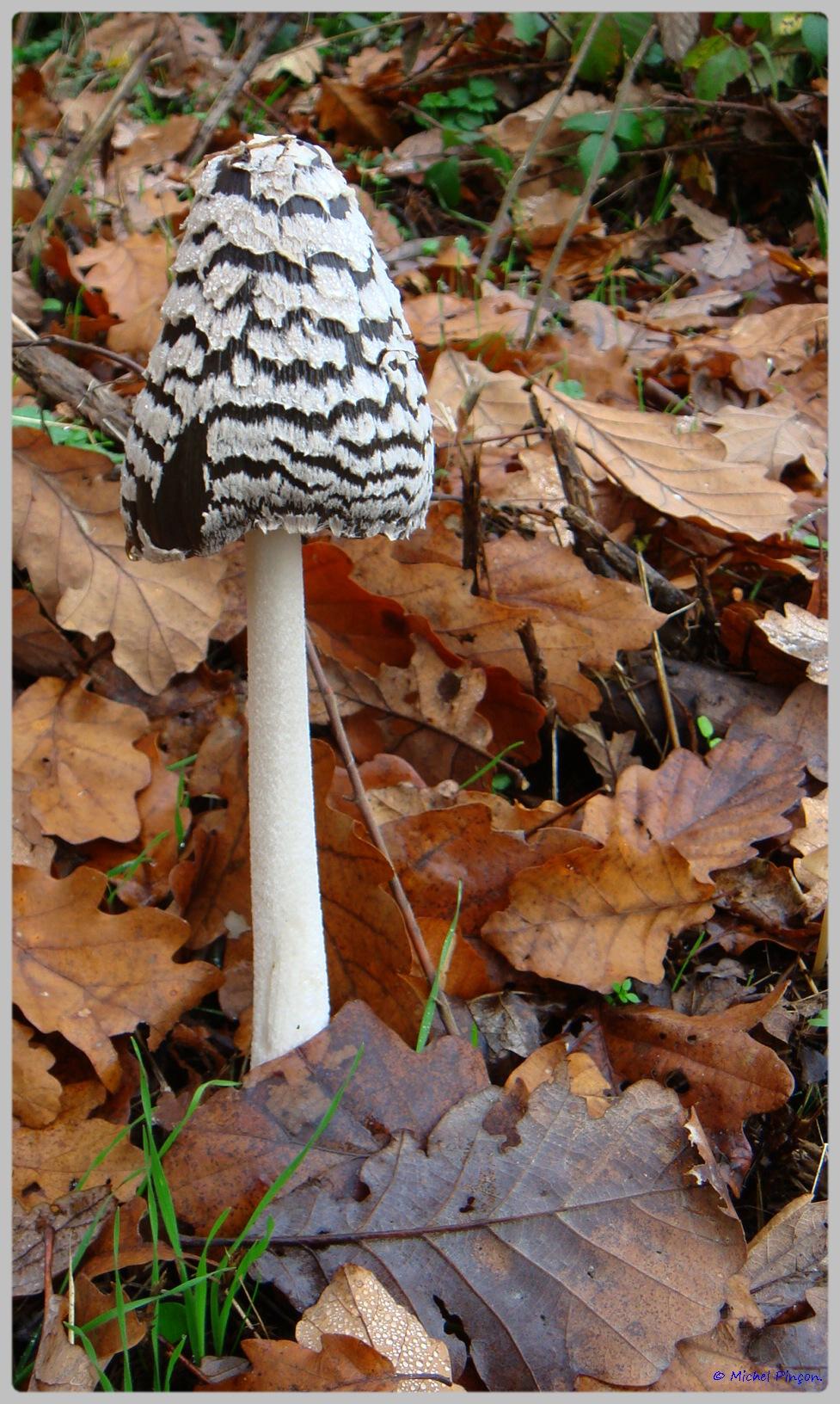 [fil ouvert] les champignons - Page 5 224715DSC011556