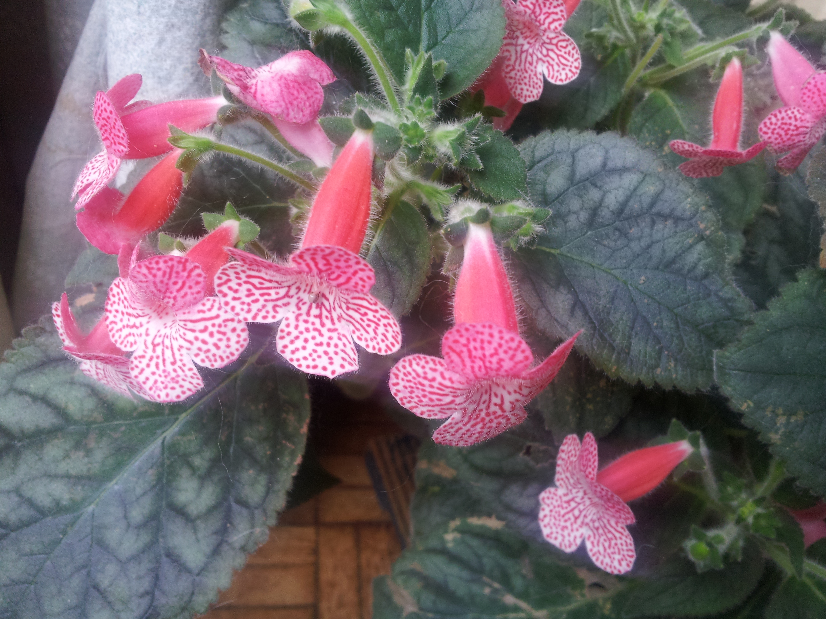 Quelques fidéles sont en fleurs  22717620170927113547HOYA2