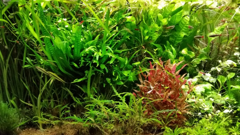 Mes (plus) de 60 plantes dans mon 240 litres - Page 7 22805720150315074547
