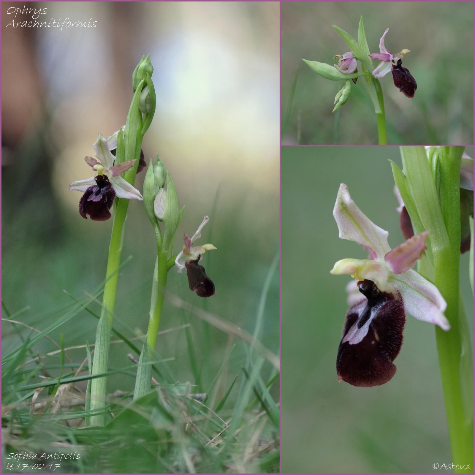 Pas moins de 4 ophrys différents le 17/02/17 à Sophia (06) 235516Orchides170217