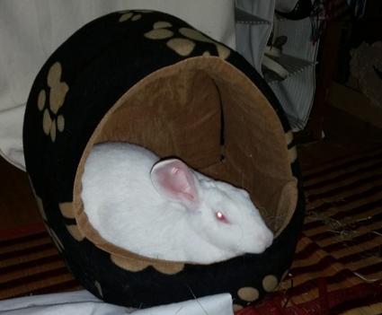 [ADOPTEE] Alice, lapine de laboratoire  248885alice11