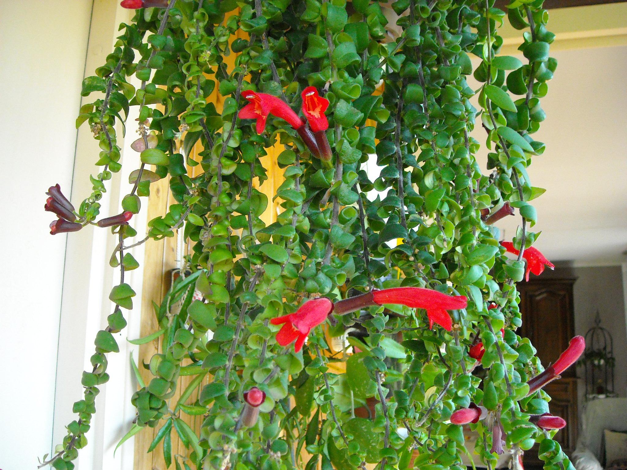 plante de boyome :aeschynanthus scoubidou 250389plantedeboyometautre002