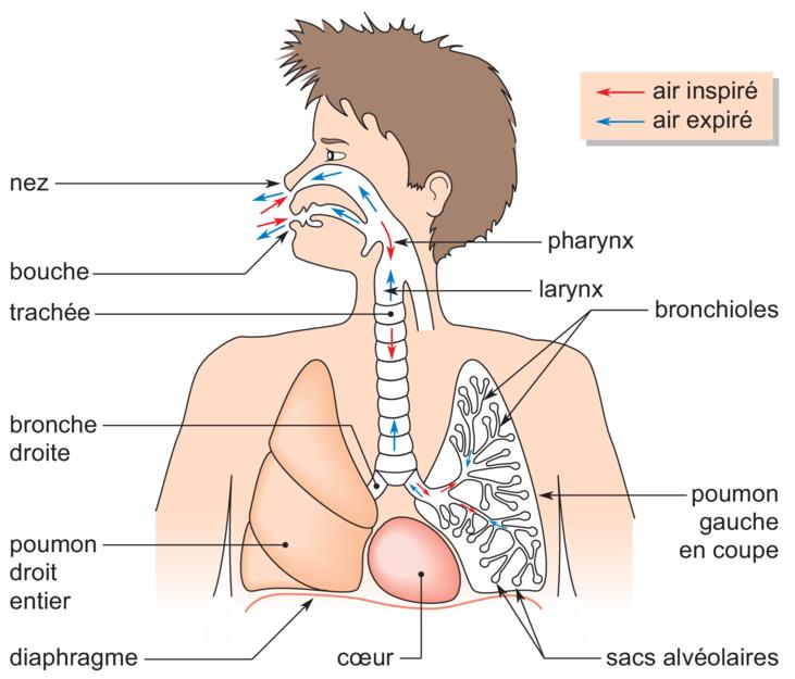 Guide RP du CHU 251275Appareilrespiratoire