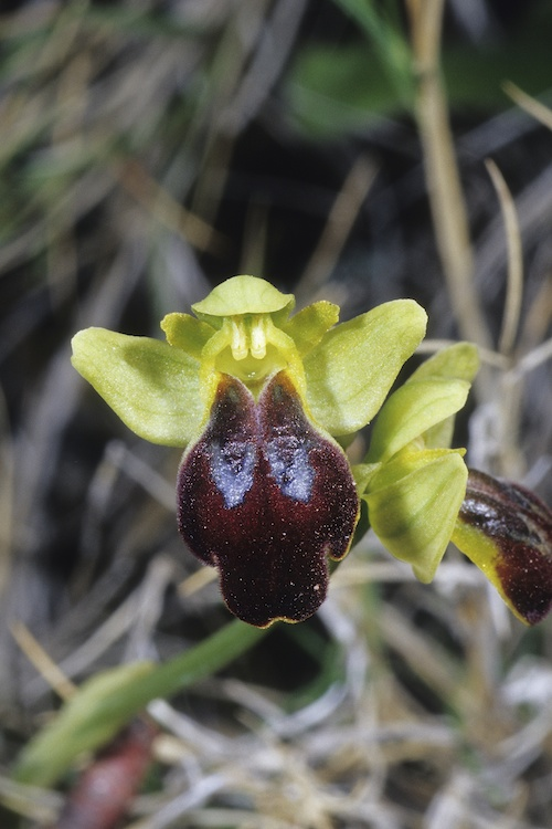 Ophrys peraiolae & zonata 2547213583