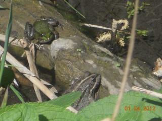 2 petites grenouilles 257162DSCN0327