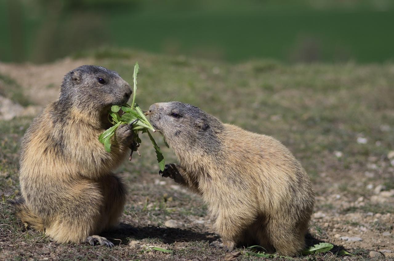 Journée de la marmotte 257324IMGP8205
