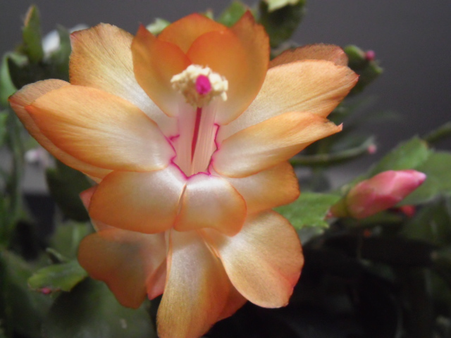 Floraisons Schlumbergera (Cactus de Noël) 261404s5jaune