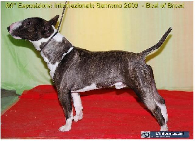 Bull Terrier Miniature 265870colonelparkerdudomainedodin