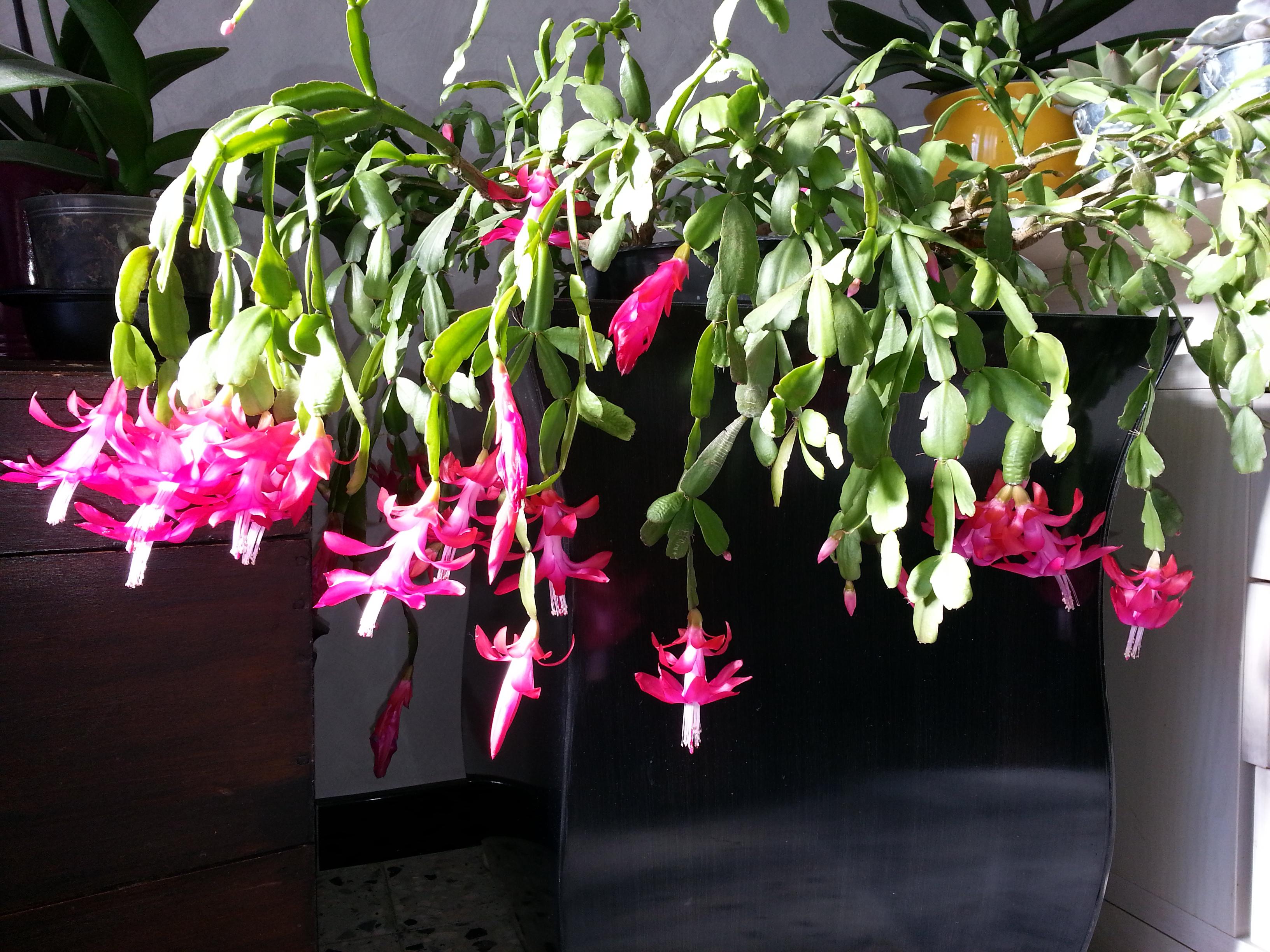 Schlumbergera, ou cactus de noel  - Page 3 26672120140112132707