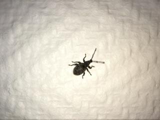 Identification petit insecte gris noir 268060IMG2018