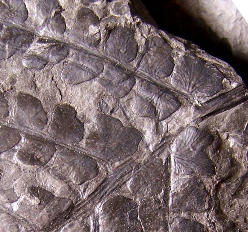 Pseudomariopteris busquetii 268807Copiade1002932