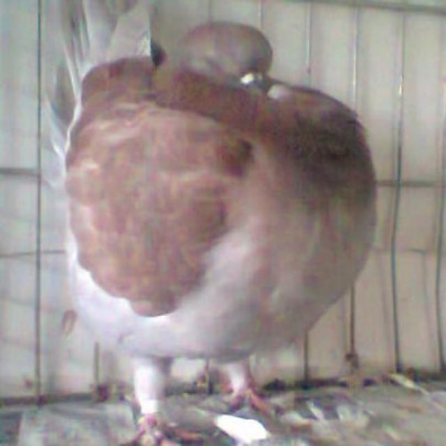 Pigeons 2015 - Page 2 269586Photo0865001