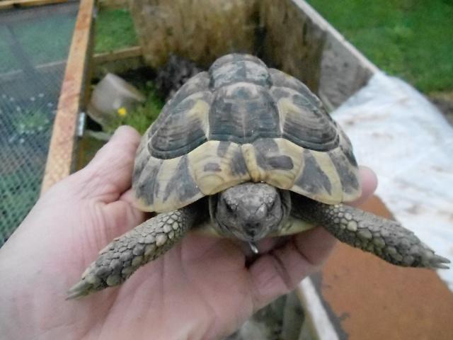 inquiet pour tortue hh 269617DSCN0218