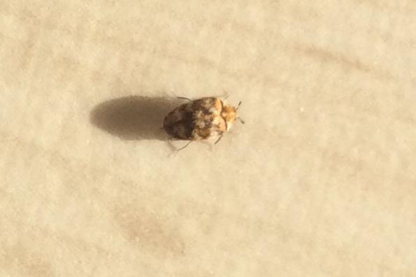 anthrenus verbasci identification d 39 un insecte dans une maison. Black Bedroom Furniture Sets. Home Design Ideas