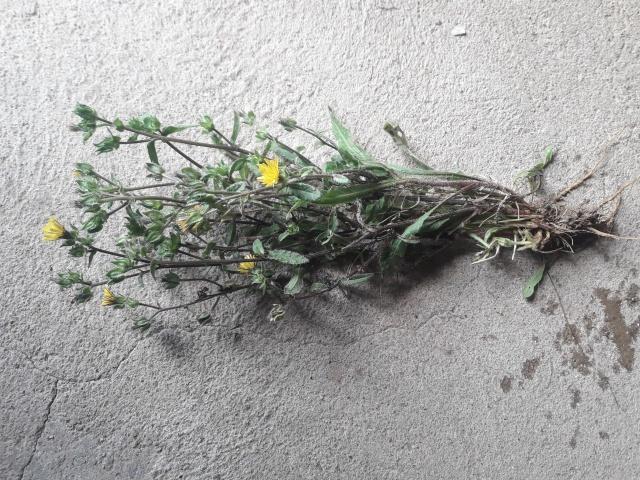 Quelle est donc cette plante ??? 27259320171006133311