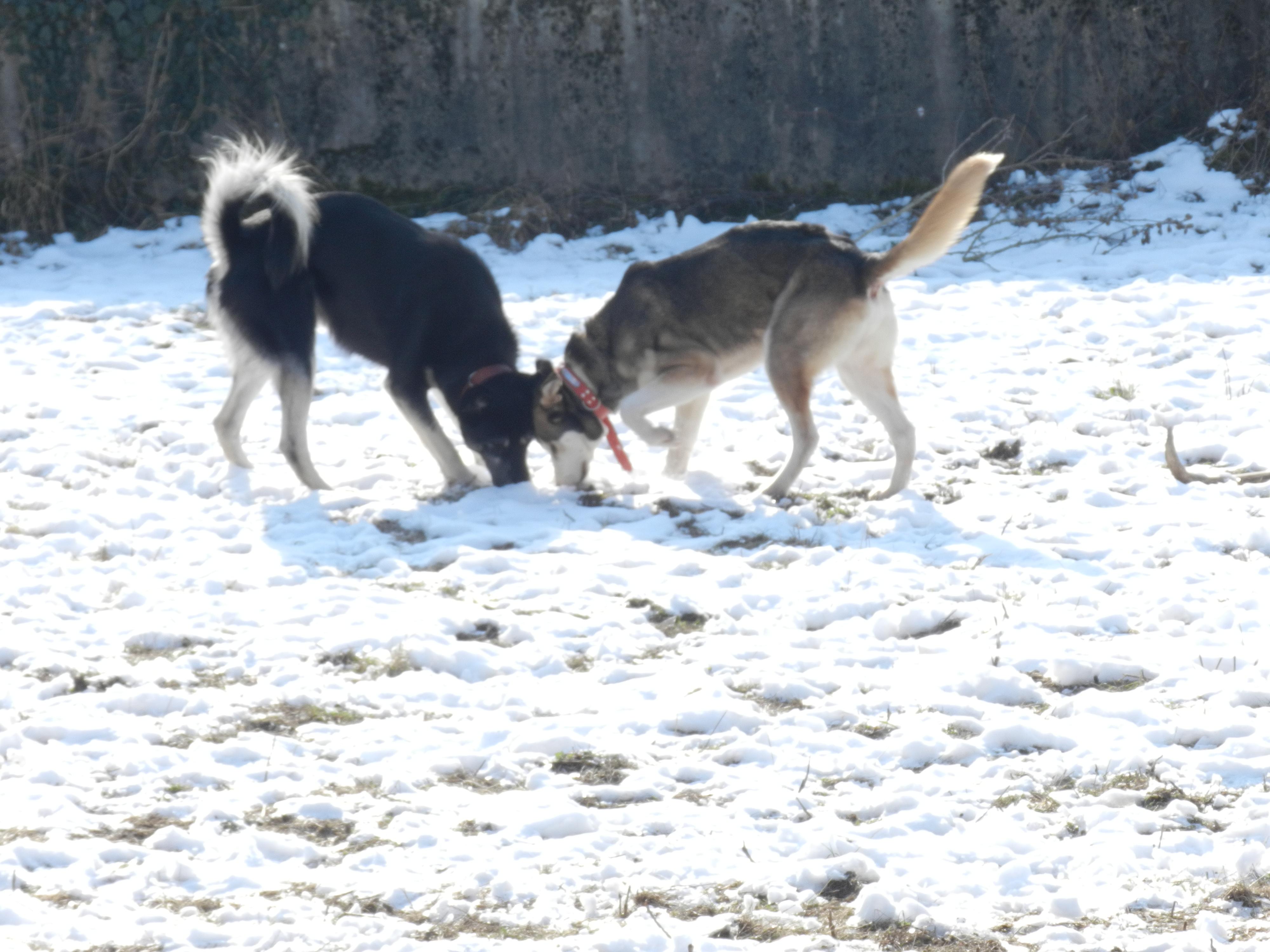Link Berger X Husky mâle 5 ans gris et blanc PAR:38 ADOPTE 273910DSCN2033