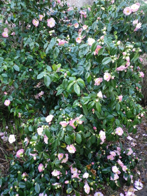 Quelques floraisons - Page 4 274942IMGP8400