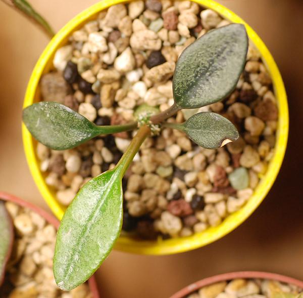 Euphorbia francoisii - Page 4 289014DSC1721