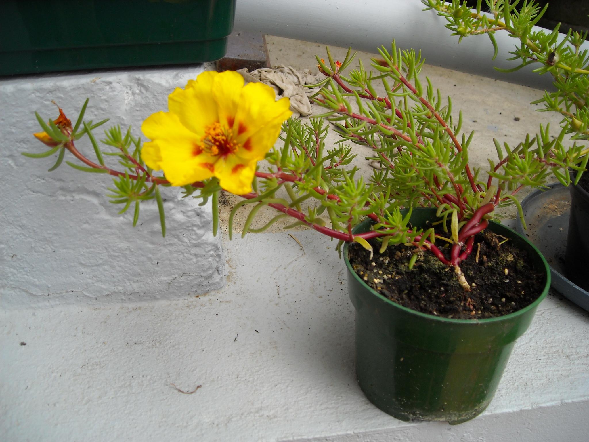plante grimpante akébia 290207fleurdaot014
