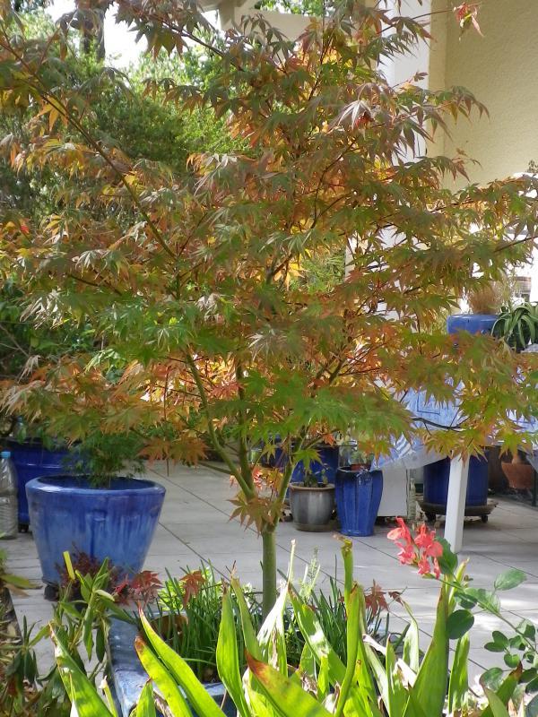 Couleurs d'automne, petit moment d'émerveillement 291063Acer_palmatumIMGP0628