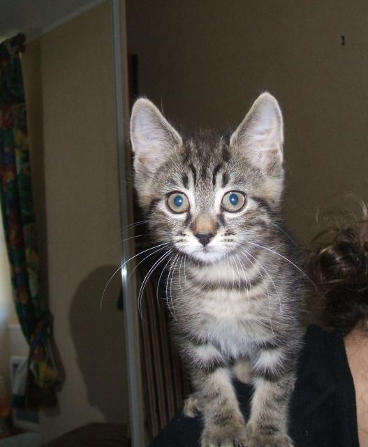 Harold type chaton européen 2 mois  adopté  par COLETTE ( 44 ) 293126harold5