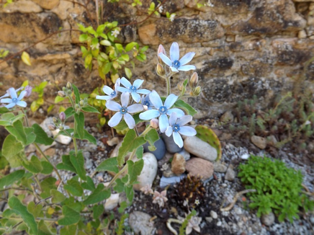 massifs en bleu - fleurs bleues et belles associations - Page 3 293594Tweedia1