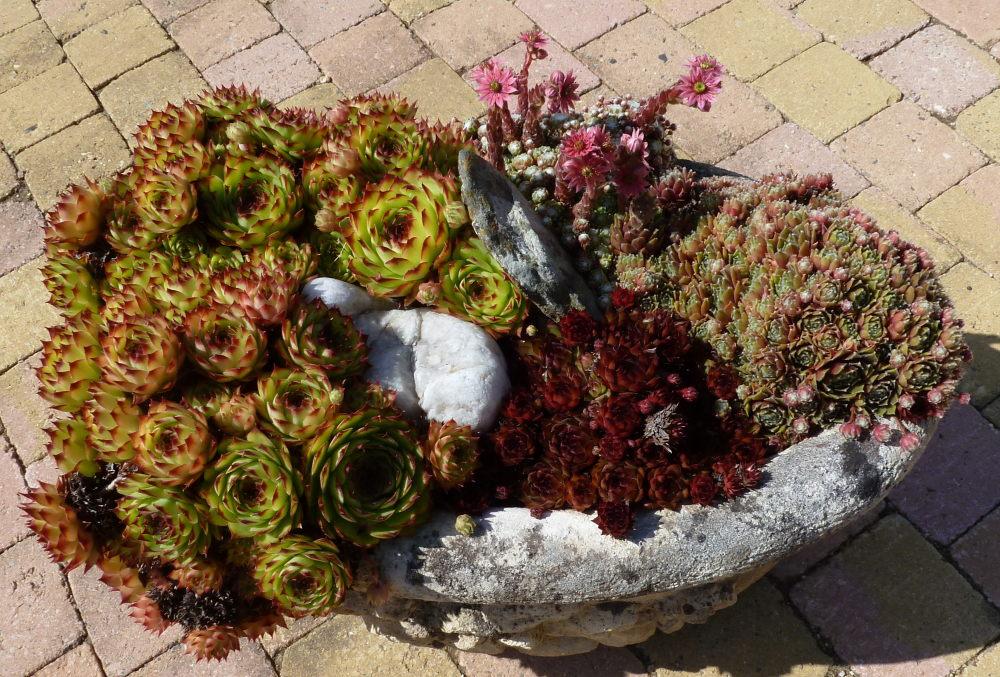 quelques plantouilles au jardin... 294124Vendeplantesgrasses012