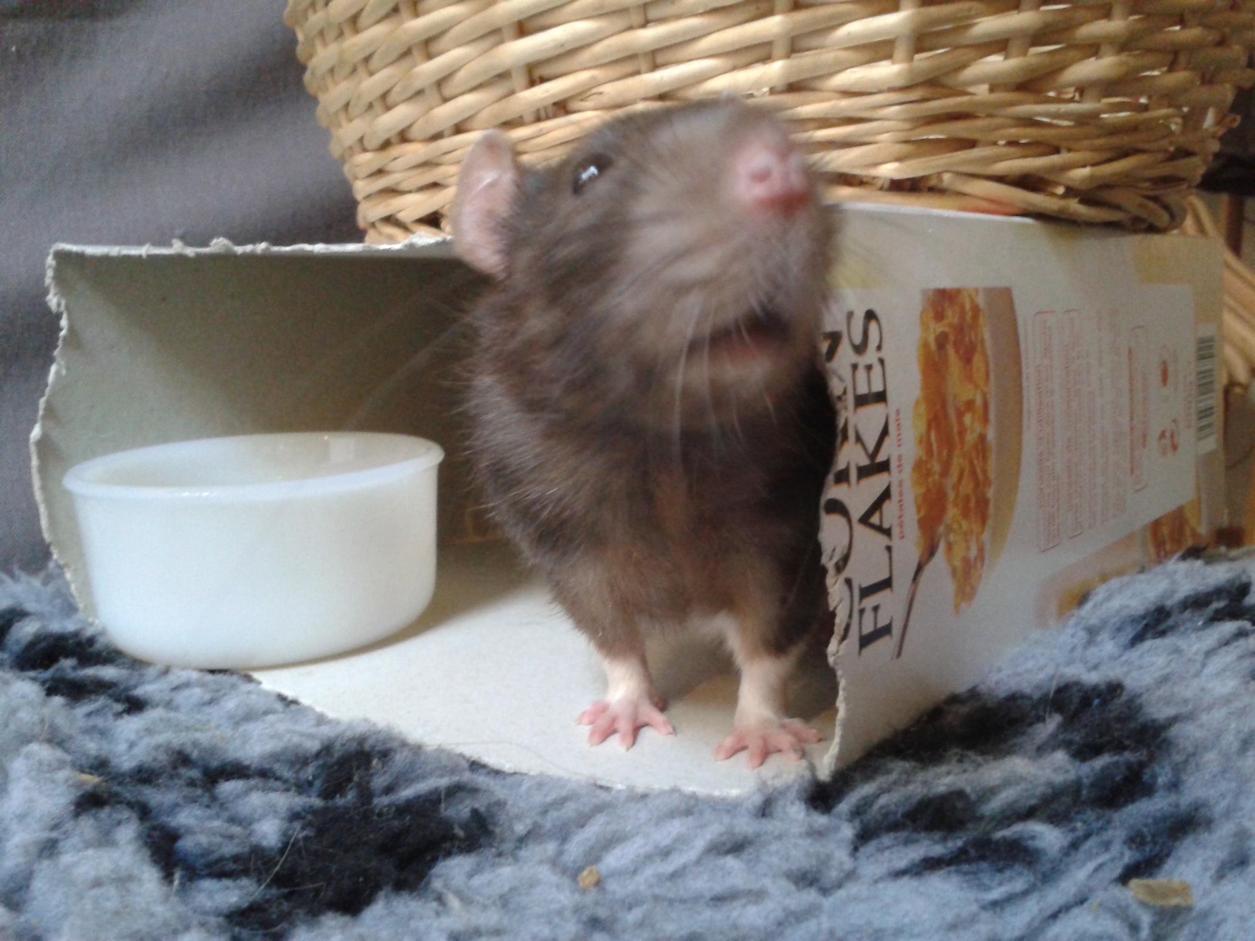Rudolf, petit rat terrorisé [69] 29777020141003180419