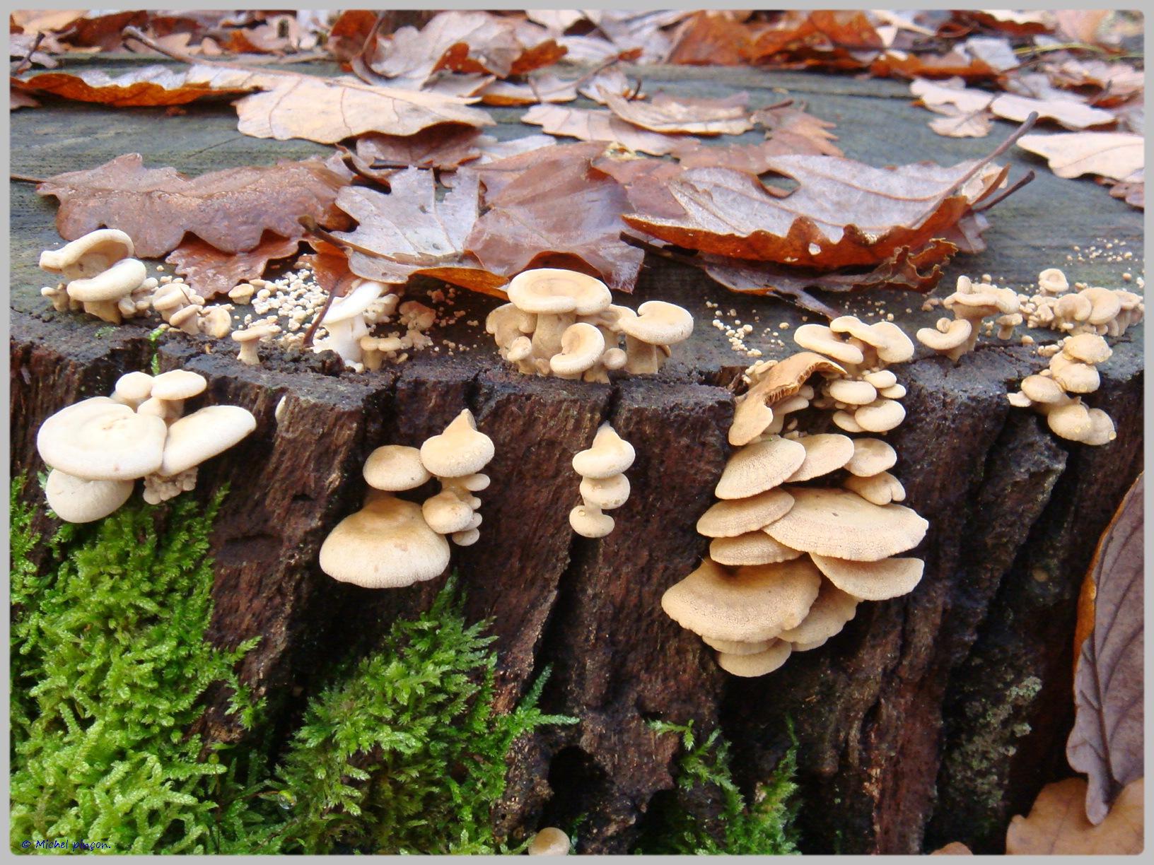 [fil ouvert] les champignons - Page 5 298664DSC011514