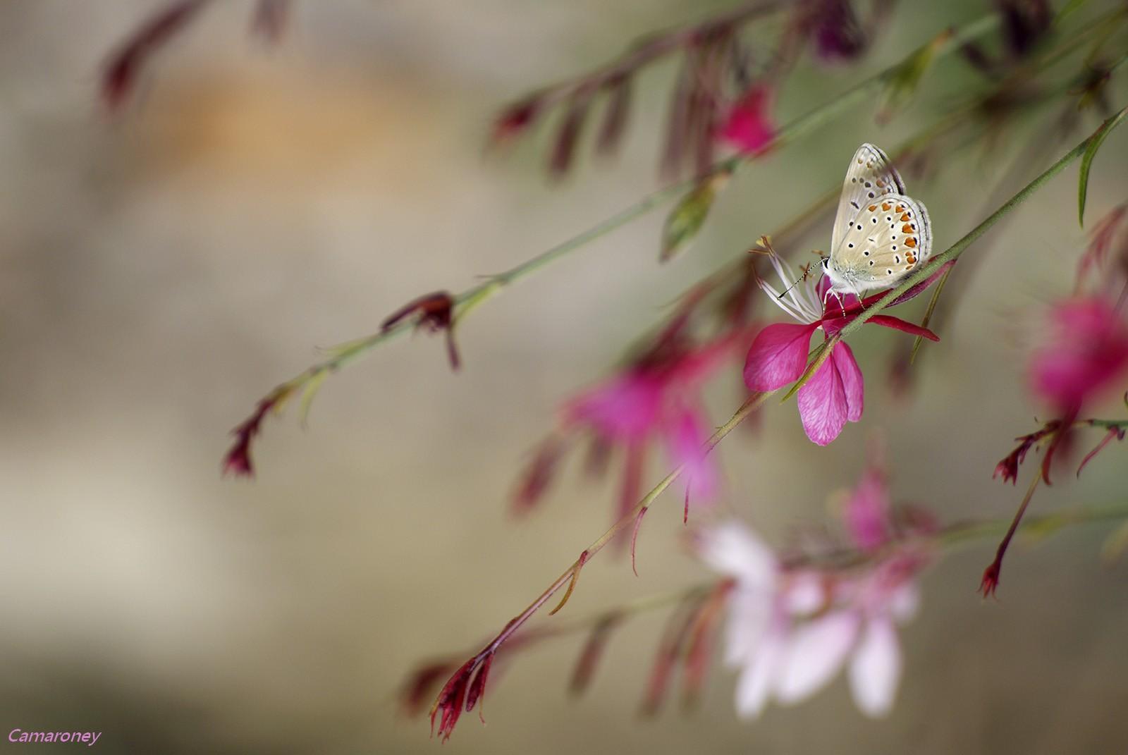 L'argus et autres papillons  mise a jour du 04.04.2019 ( camaroney ) - Page 2 304143DSC006181600