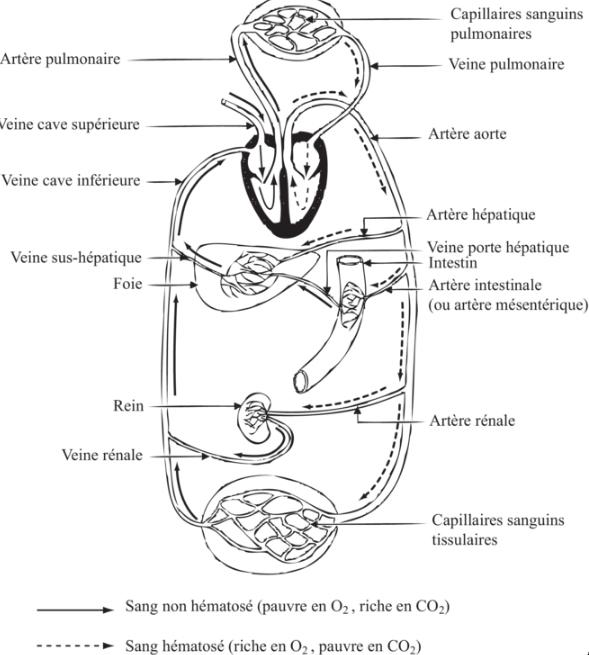 Guide RP du CHU 306586Appareilcardiovasculaire