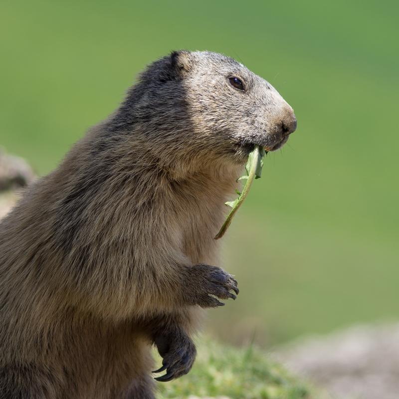 Journée de la marmotte 306788IMGP8170