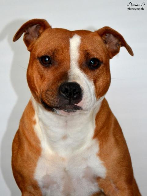Le Staffordshire Bull Terrier : le staffie - Page 4 315820DSC0250